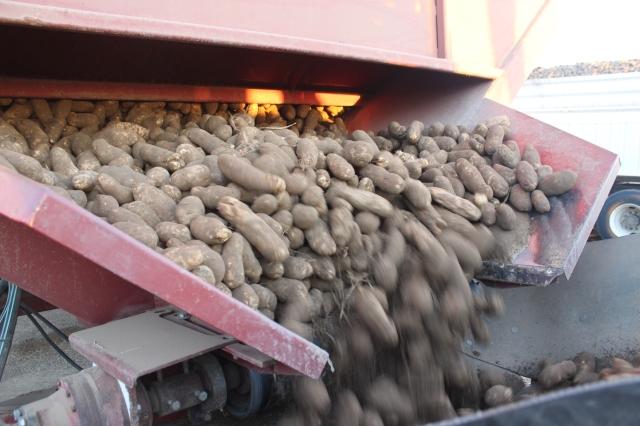 2015-9-22 Baker Potato harvest (28)