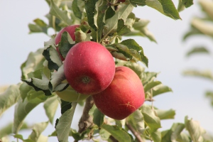 2015-10-7 Apples (100)