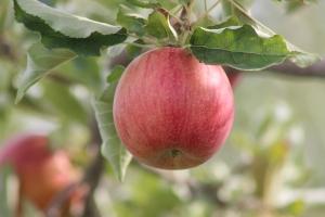 2015-10-7 Apples (101)