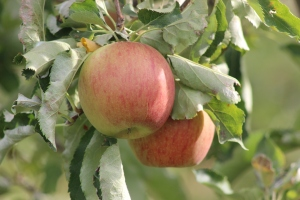 2015-10-7 Apples (97)