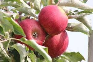 2015-10-7 Apples (98)