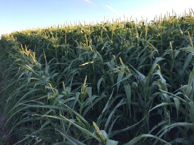 2016-7-28 Crops (11)