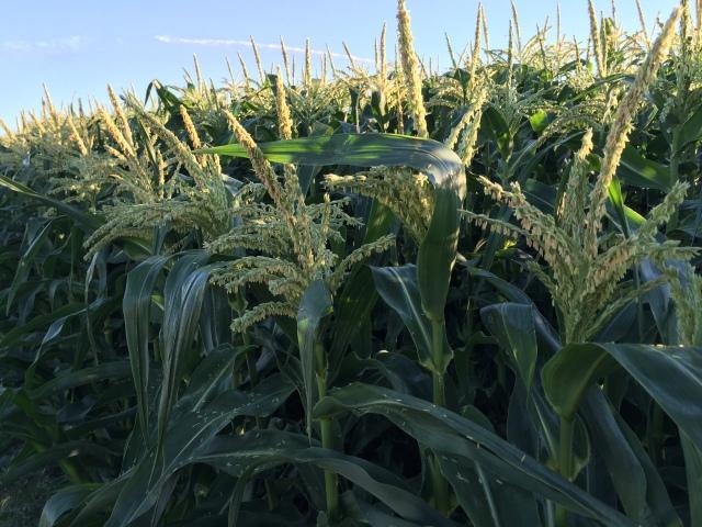 2016-7-28 Crops (16)