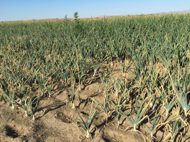 2016-7-28 Crops (37)