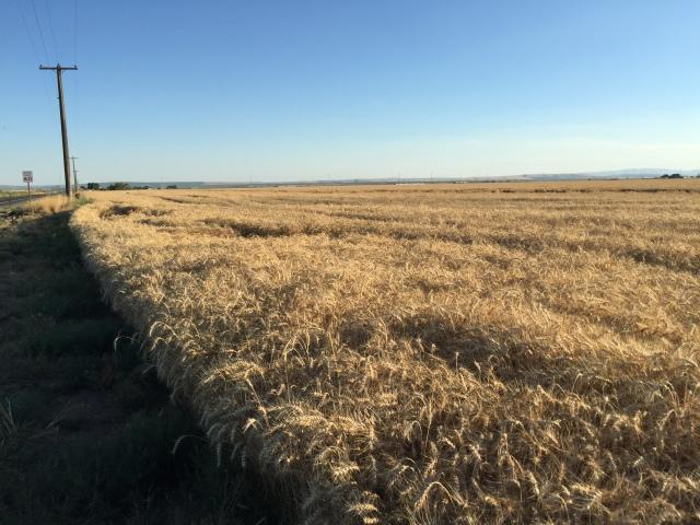2016-7-28 Crops (6)