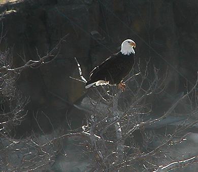 Eagels winter at The Dalles Dam
