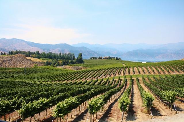 Chelan vineyards