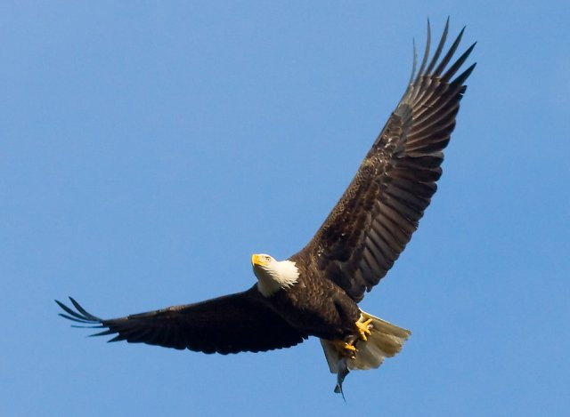 16690-a-bald-eagle-flying-with-a-fish-pv
