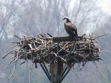 2017-7-11 Osprey nests (1)