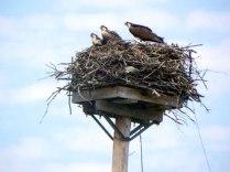 2017-7-11 Osprey nests (2)