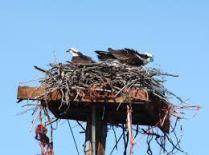 2017-7-11 Osprey nests (3)