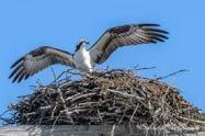 2017-7-11 Osprey nests (4)