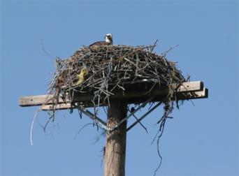 2017-7-11 Osprey nests (7)