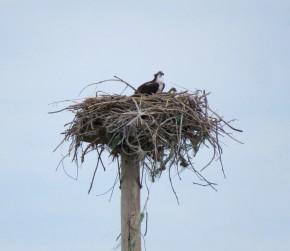 2017-7-11 Osprey nests (8)